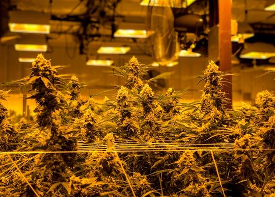 Inside the Trulieve flower room in Quincy, Fla., rows of medical marijuana plants bask under golden lights in ideal room temperatures in December 2018.