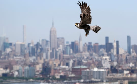 An adult peregrine falcon is upset as it sees humans near the nest of its three chicks.  The adult circled the area to try to get close to the chicks but was pushed away with an umbrella and feather duster. The Empire State Building can be seen in the background. Tuesday, May 28, 2018
