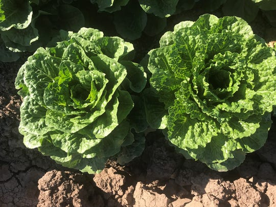Romaine grows in field in Wellton, Arizona.