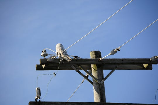 A snowy owl sits on a telephone pole in Clay Township.
