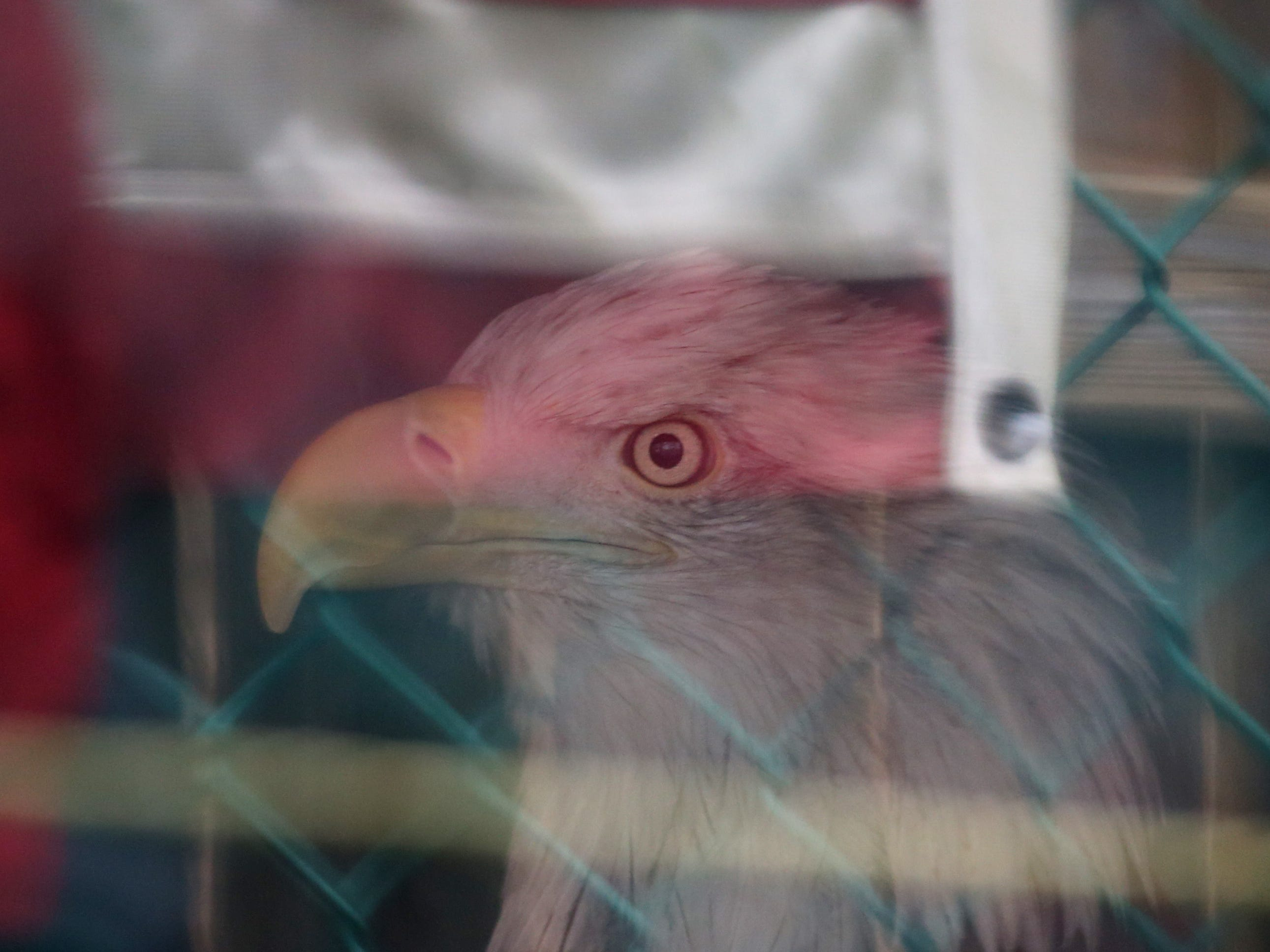 Athena, a bald eagle, looks out from her enclosure as visitors, and a American flag are reflected in the glass front.