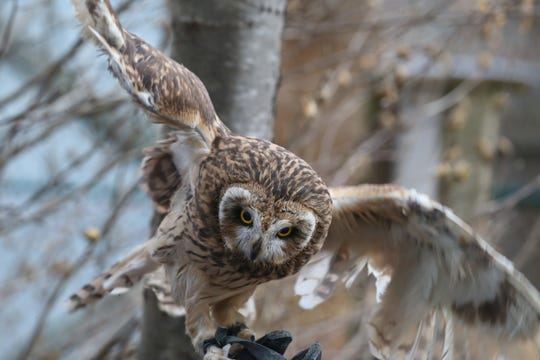 Sage, a short-eared owl, stretches out her wings as she perches on the covered arm of volunteer Heather Natola at Wild Wings Inc., located in Mendon Ponds Park in Honeoye Falls Tuesday, Dec. 18, 2018.