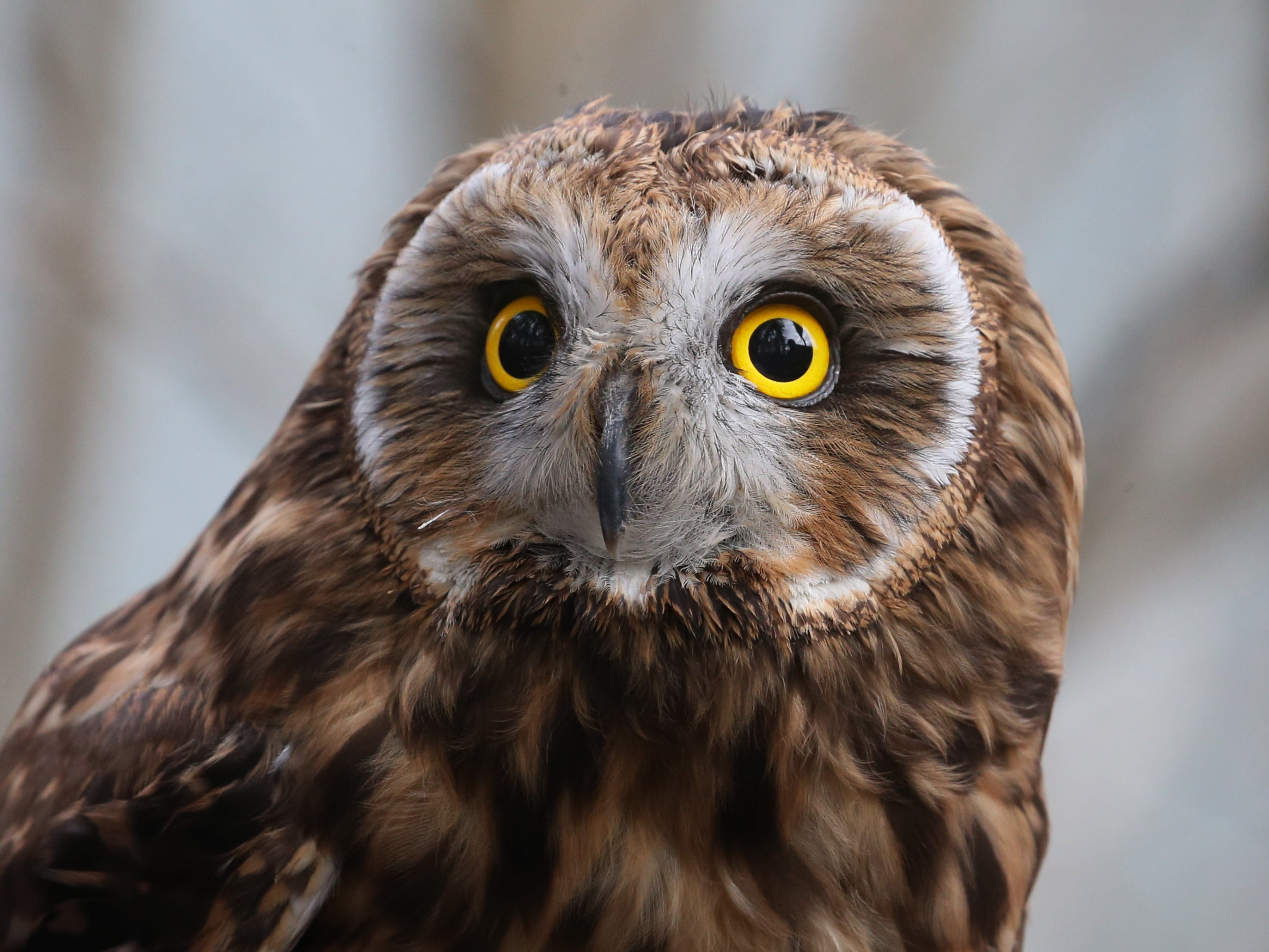 Sage, a short-eared owl at Wild Wings Inc.
