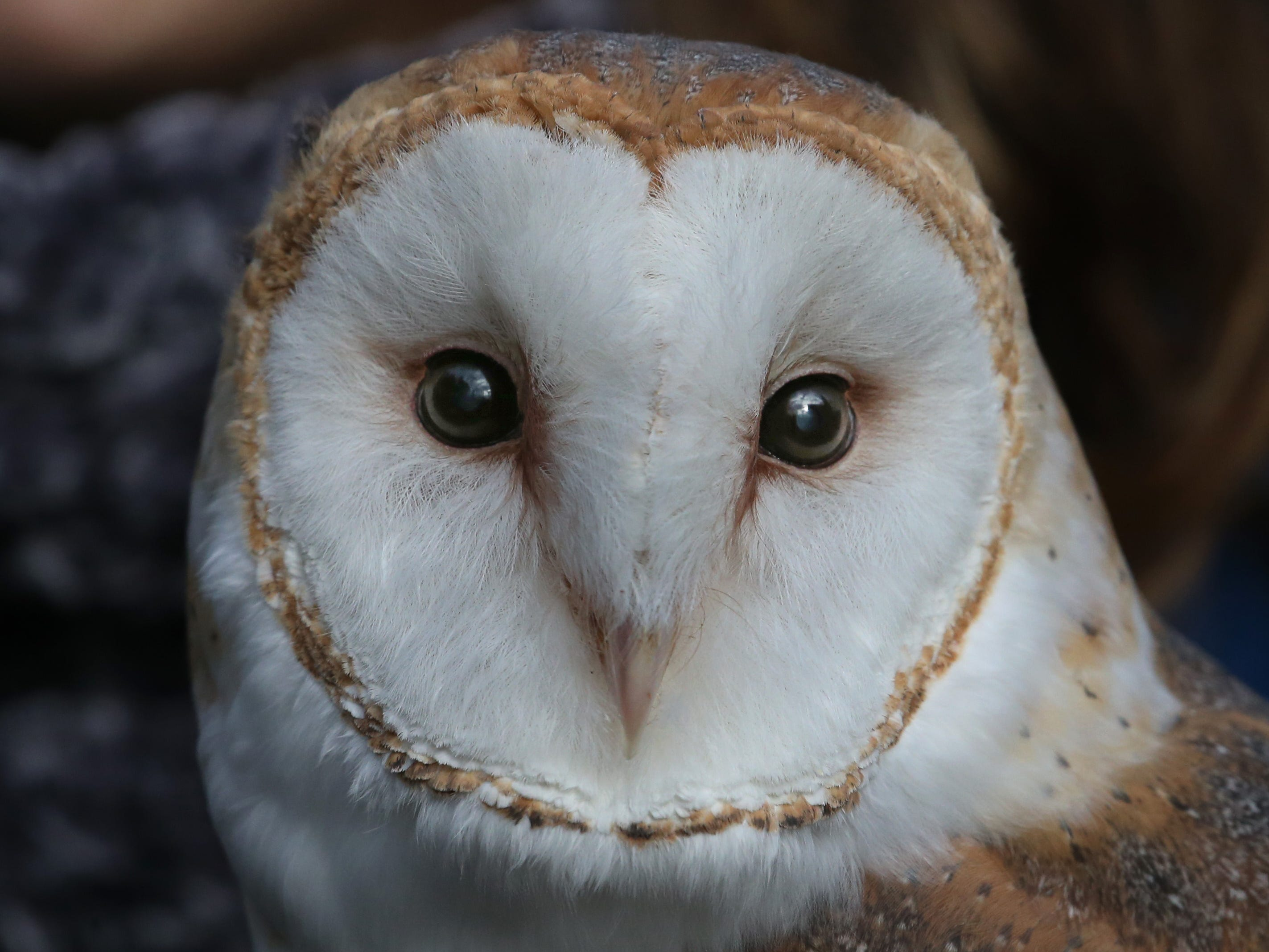 Melinda, a Barn Owl, at Wild Wings Inc.