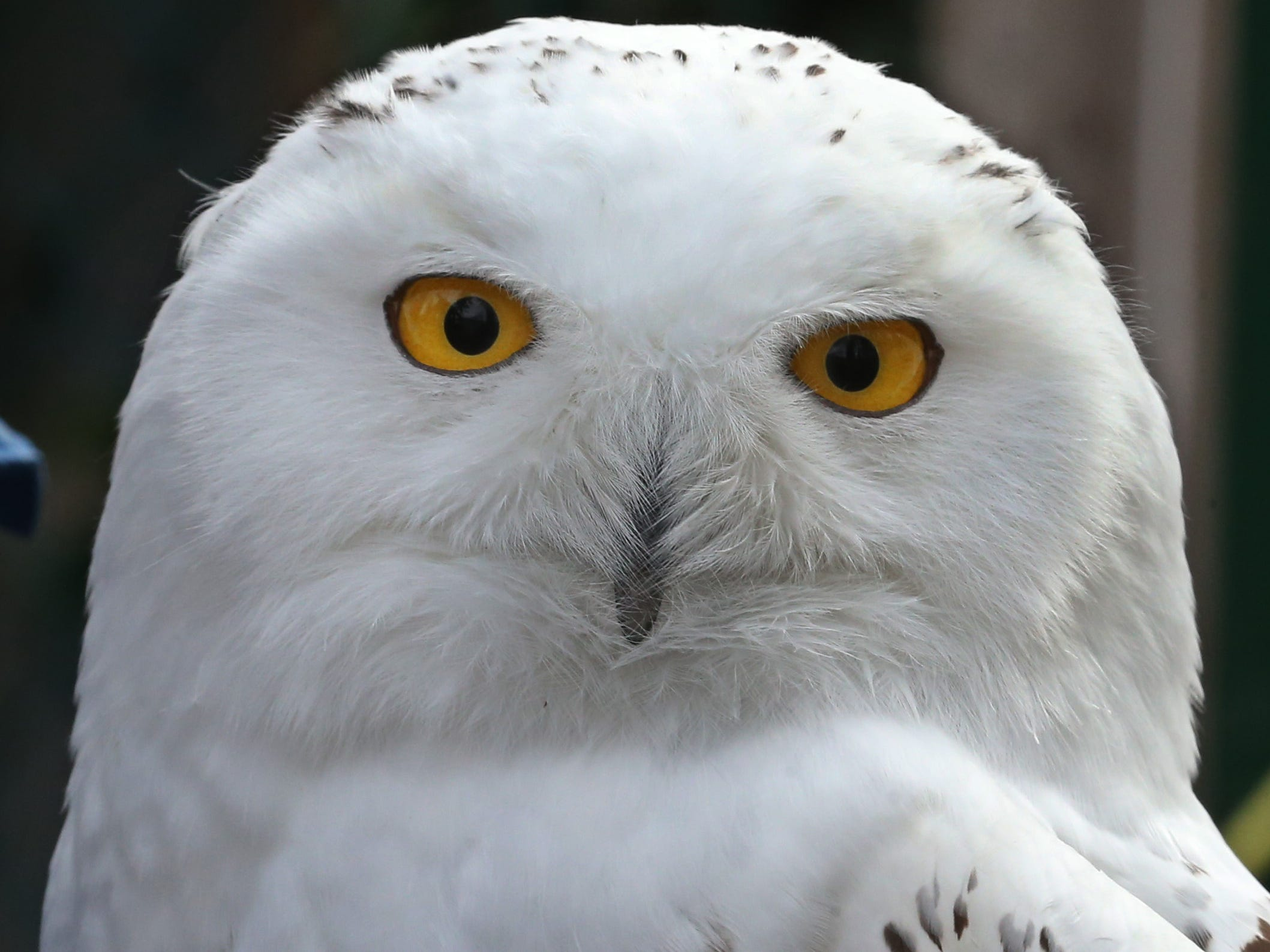 Teddy, a snowy owl, at Wild Wings Inc.