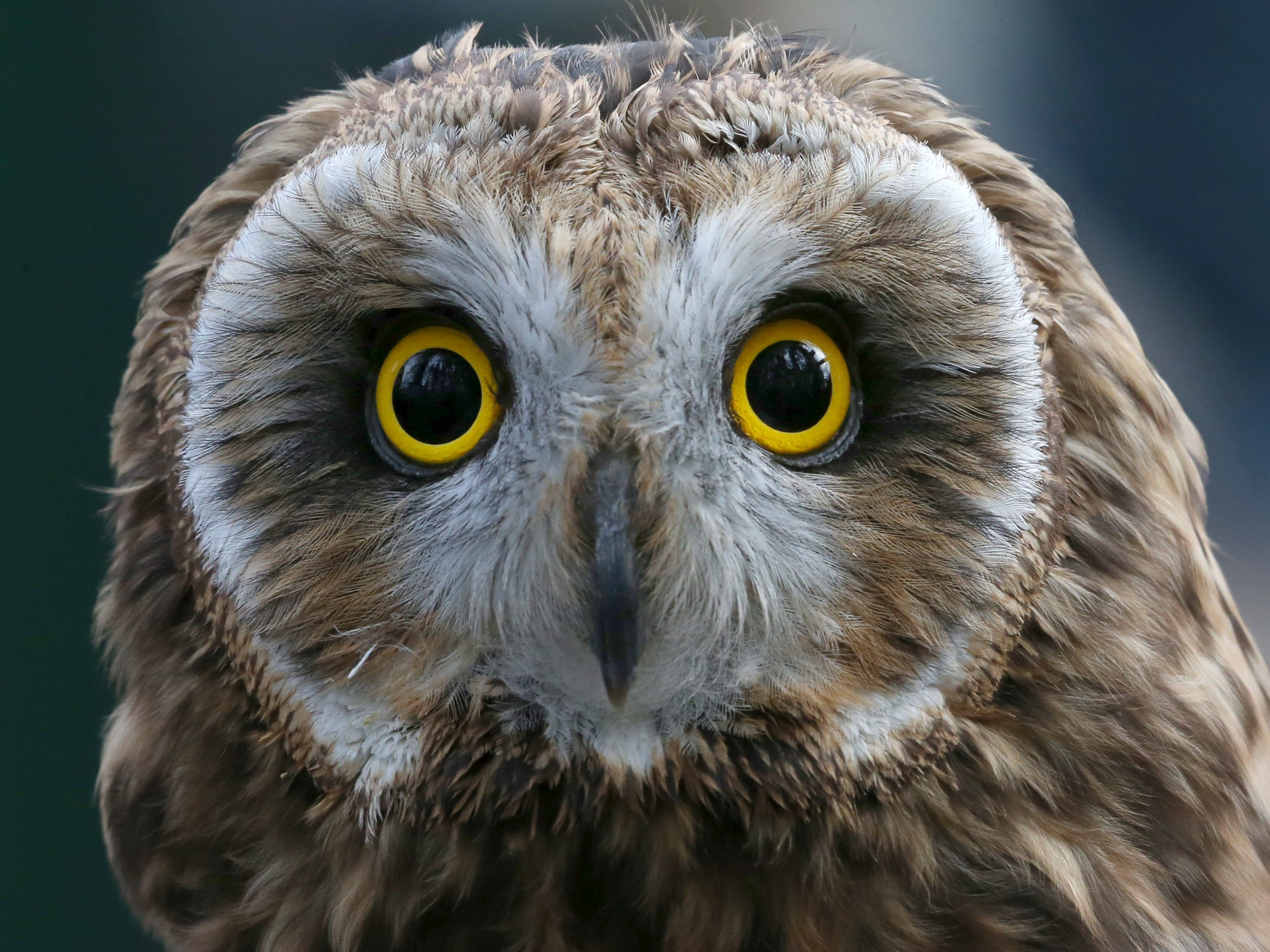 Sage, a Short Eared Owl, at Wild Wings Inc.