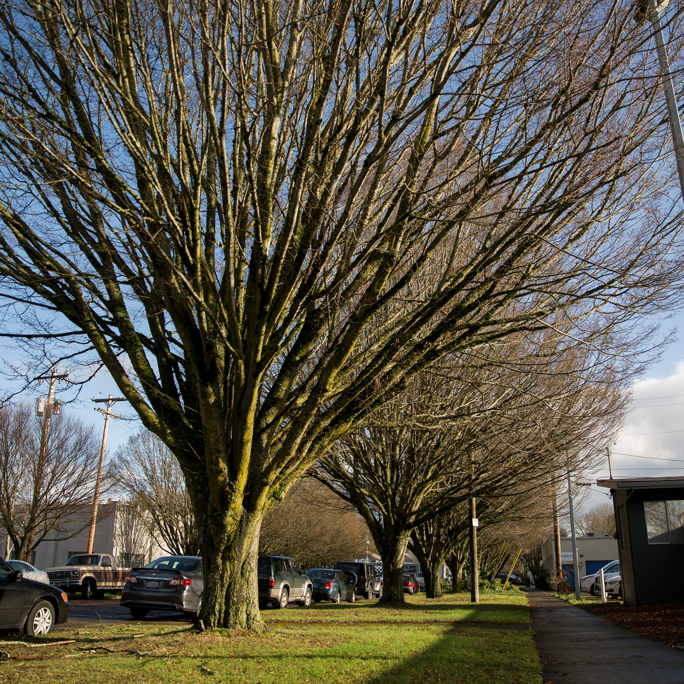 16 Salem trees coming down to make room for more downtown parking