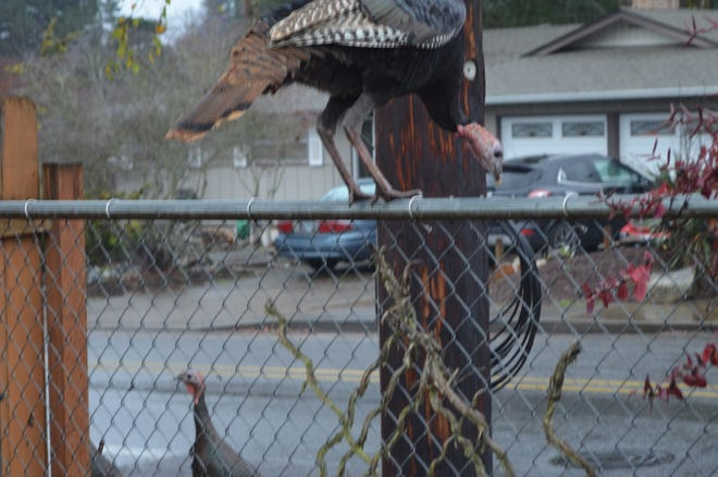 Why did the turkey cross the fence? To get away from Harry, of course.