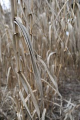 A close-up photo of arundo, an invasive grass that has taken over the banks of the Salinas River.
