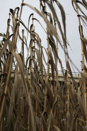 Arundo grass lines the banks of the Salinas River.