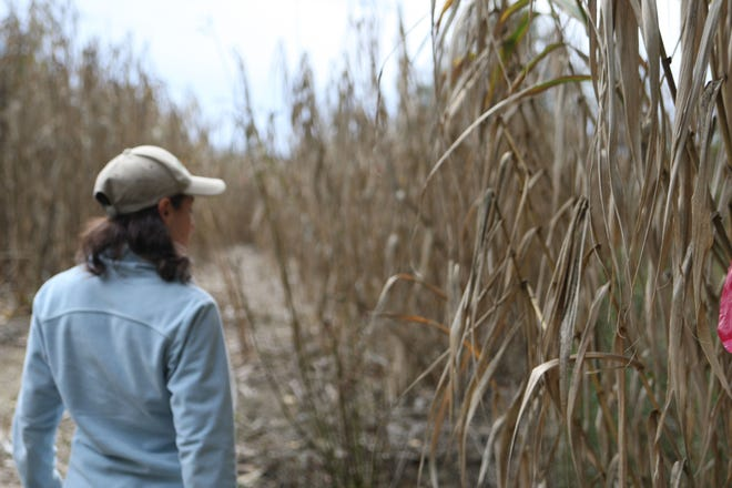 Scientist Emily Zefferman walks through clumps of arundo. Arundo can grow up to 30 feet tall.
