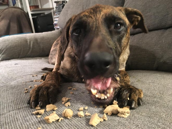 Bruiser enjoys a treat at Tammy VanStockum's home.