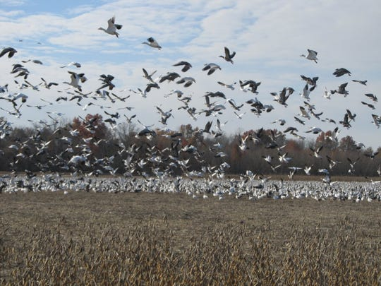 Snow geese resting at the Schell-Osage Conservation Area.