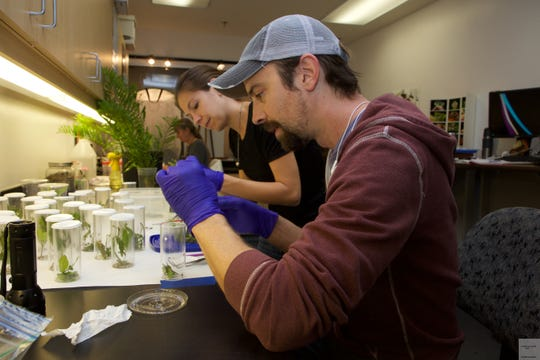 Researchers at work on the Miami blue butterfly restoration project.