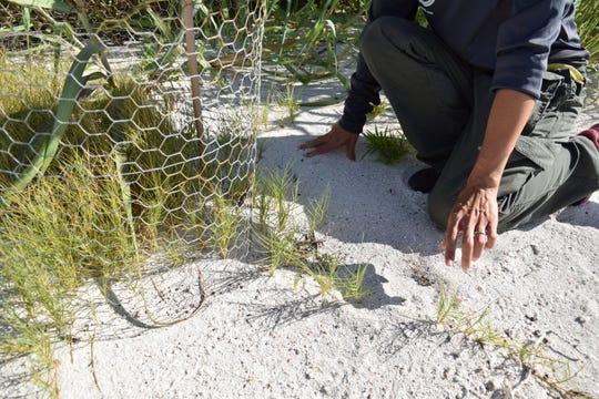 Plant restoration for Miami blues on Sugar Loaf, Florida Keys.