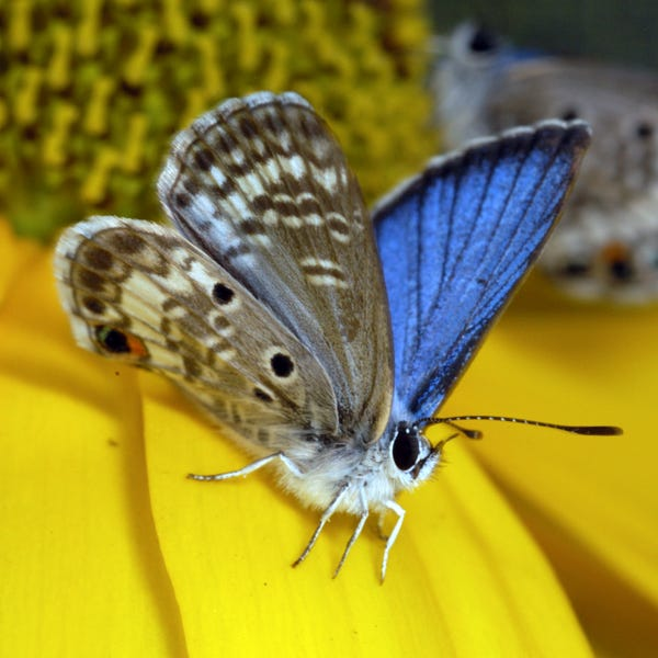 Male Florida blue butterfly.