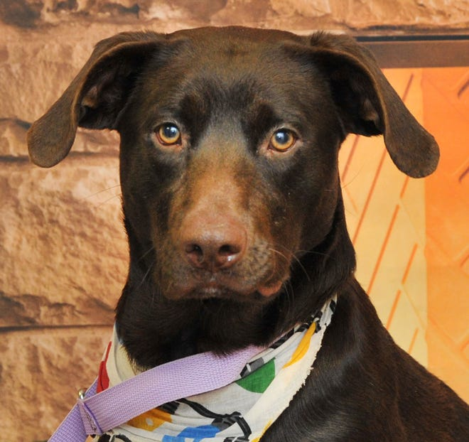 Jangle is a 2-year-old chocolate lab that is looking for a good home. He still needs to be neutered and gets along with other dogs.  You can find Jangle and his friends at the Wichita Falls Animal Center.