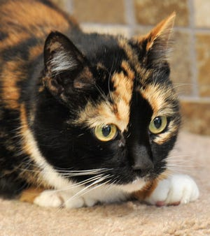 Chloe is an adult female domestic shorthaired cat. She is very shy but would dearly love to find a permanent home. Chloe is available for adoption at the Wichita Falls Animal Center.