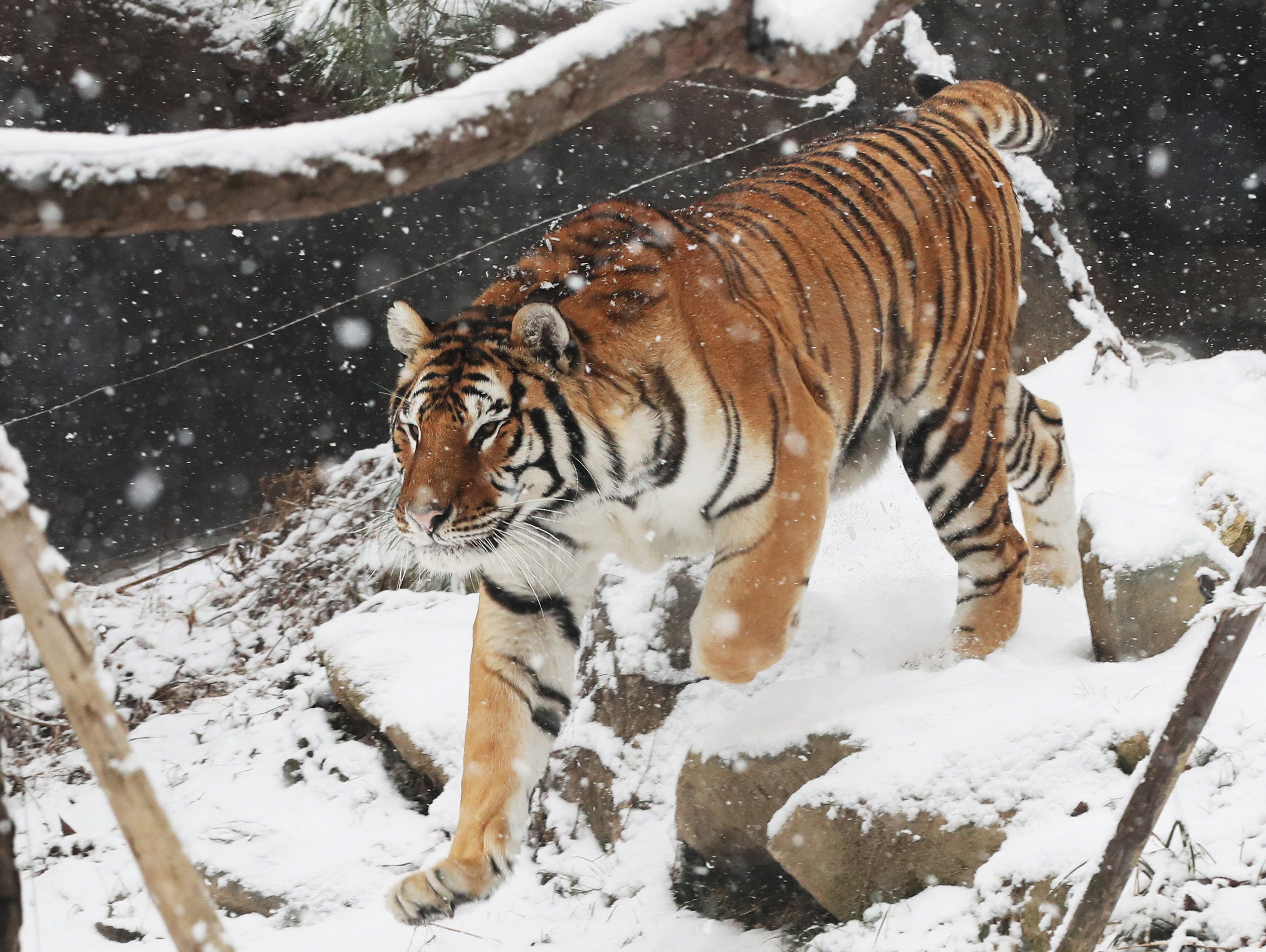 epa07227798 A tiger runs while it snows at the amusement park Everland in Yongin, south of Seoul, South Korea, 13 December 2018.  EPA-EFE/YONHAP SOUTH KOREA OUT