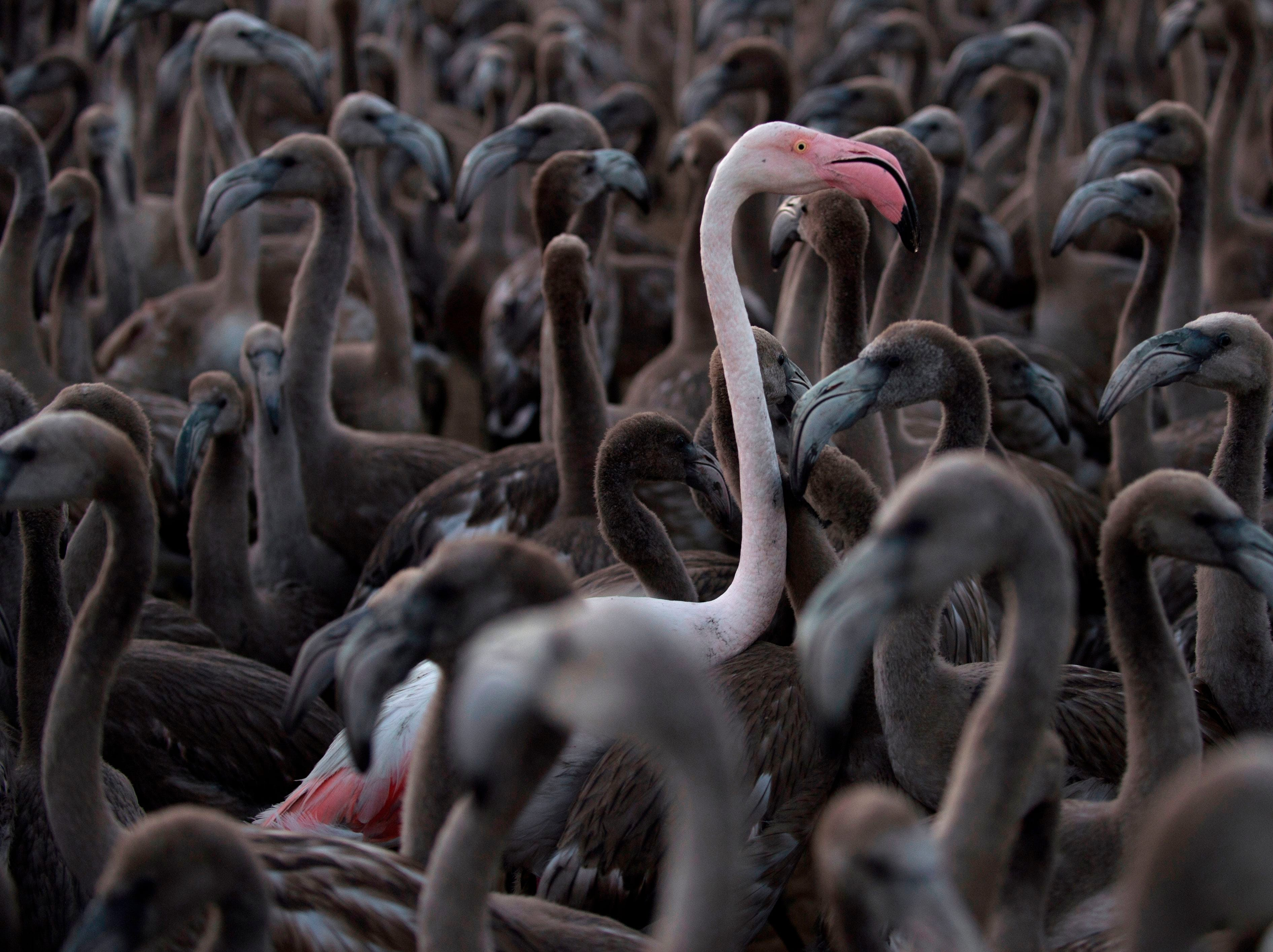 Aug. 11, 2018: Flamingos move around a pen at Fuente de Piedra lake in Spain  during a tagging and control operation of flamingo chicks to monitor the evolution of the species.  The lake, which is the most important breeding ground for flamingos in the Iberian Peninsula, is also a nature reserve and a haven for birds with over 170 different species recorded.