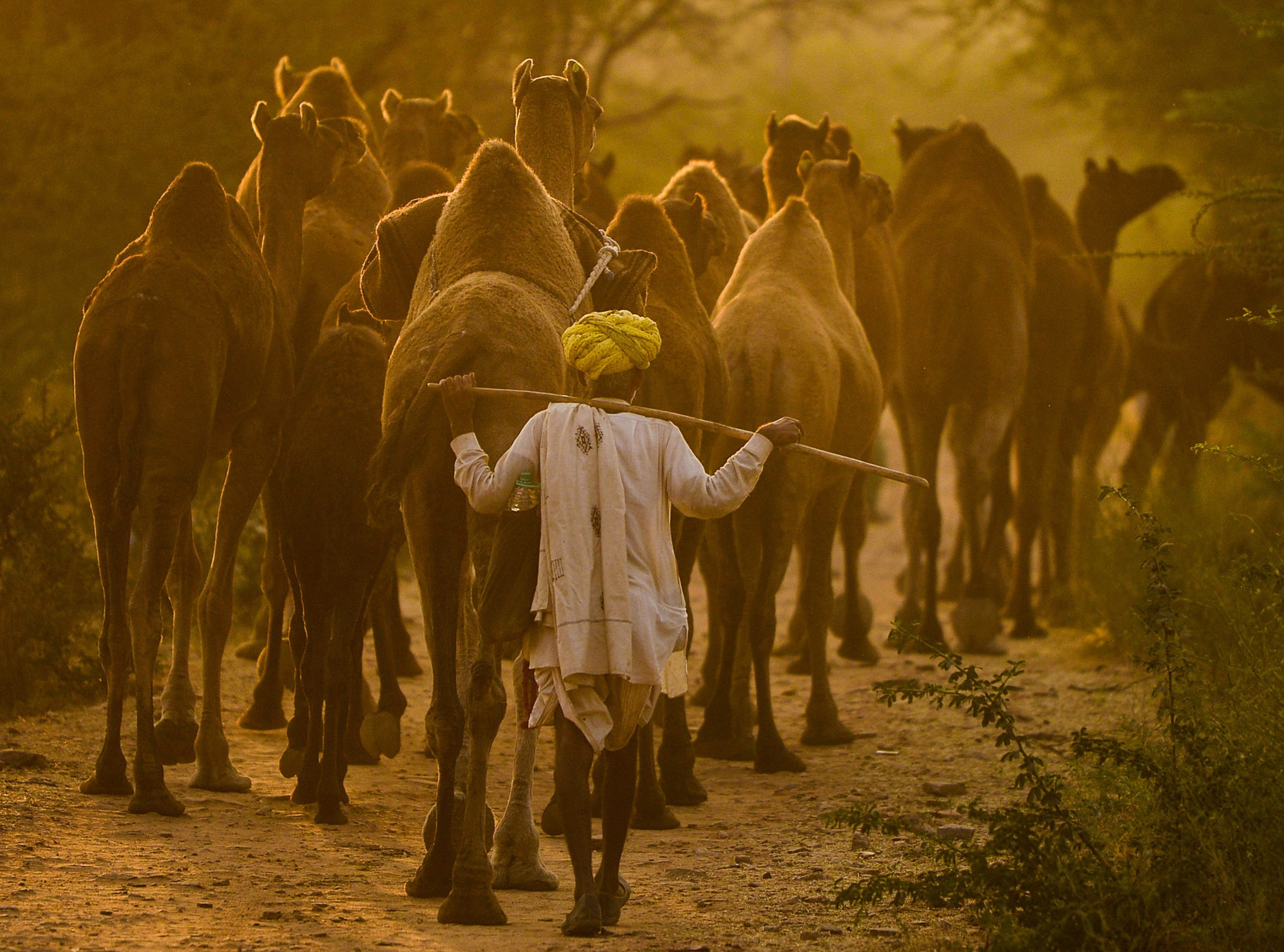 A camel herder walks along his camels at the end of the Pushkar Camel Fair in India on Nov. 24, 2018.  Thousands of livestock traders from the region come to the annual five-day fair where livestock, mainly camels, are traded.