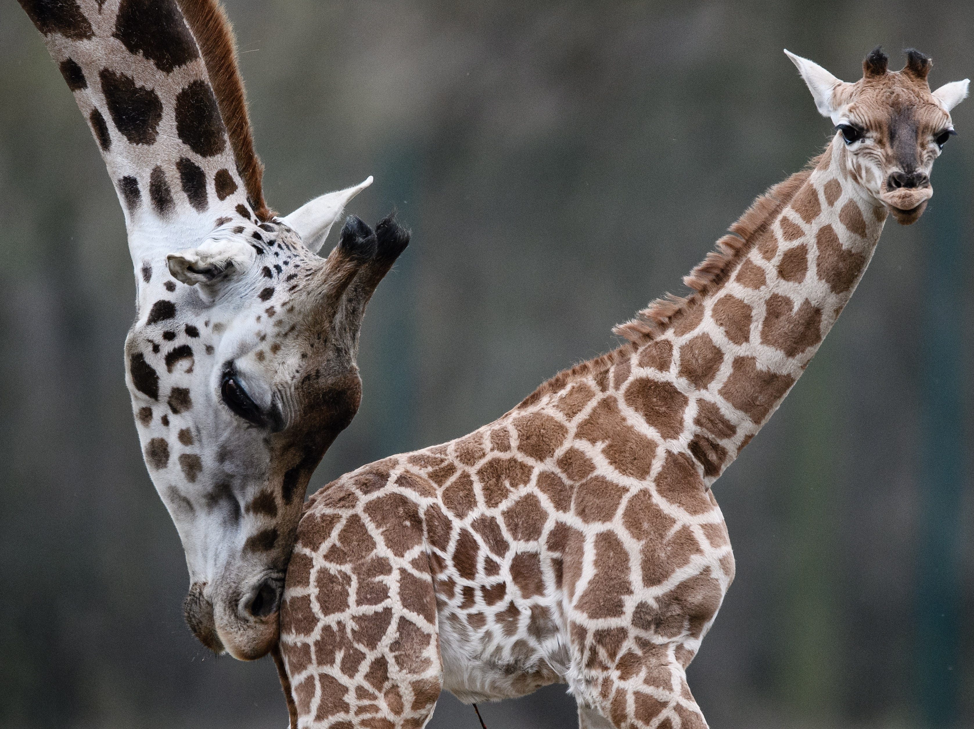 The Giraffe cub Ella (R) stands next to her mother Amalka as she walks for the first time in the outdoor enclosure of the Tierpark in Berlin, Germany on Nov. 20, 2018. Ella is a a Rothschild's giraffe and was born on Nov. 3, 2018 in Berlin.
