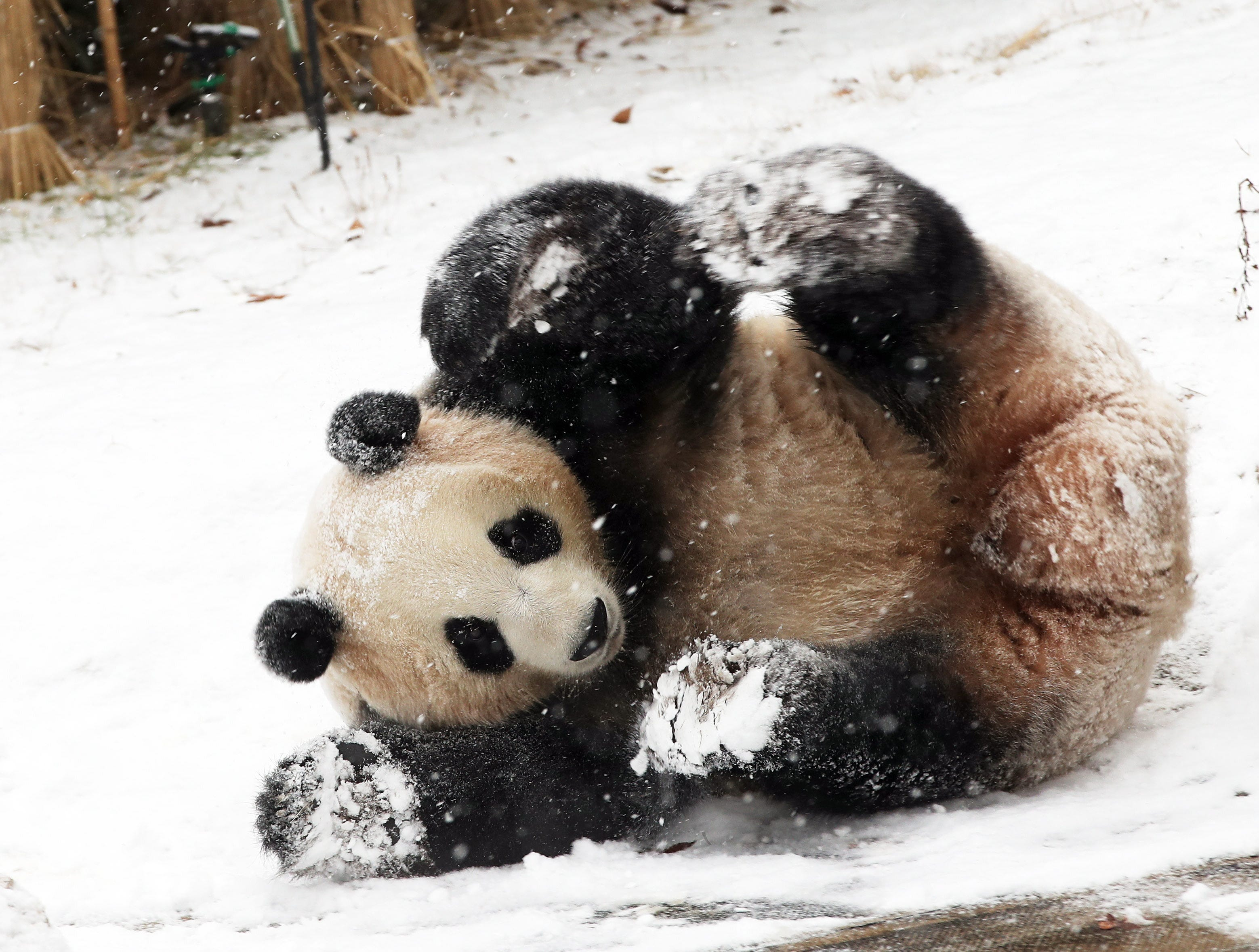 epa07227799 The female panda Aibao joyfully rolls in the snow at the amusement park Everland in Yongin, south of Seoul, South Korea, 13 December 2018.  EPA-EFE/YONHAP SOUTH KOREA OUT
