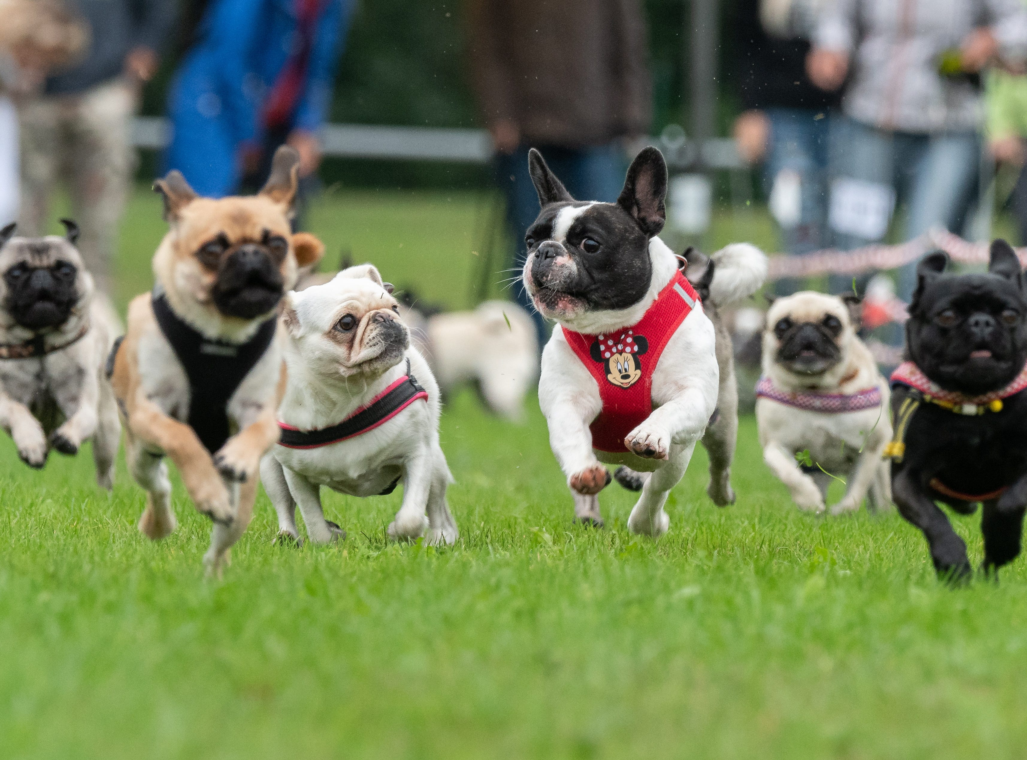 Sept. 2, 2018: Pugs and French bulldogs run on a grass field during the 8th Southern German pug and bulldog race in Wernau,  Germany.