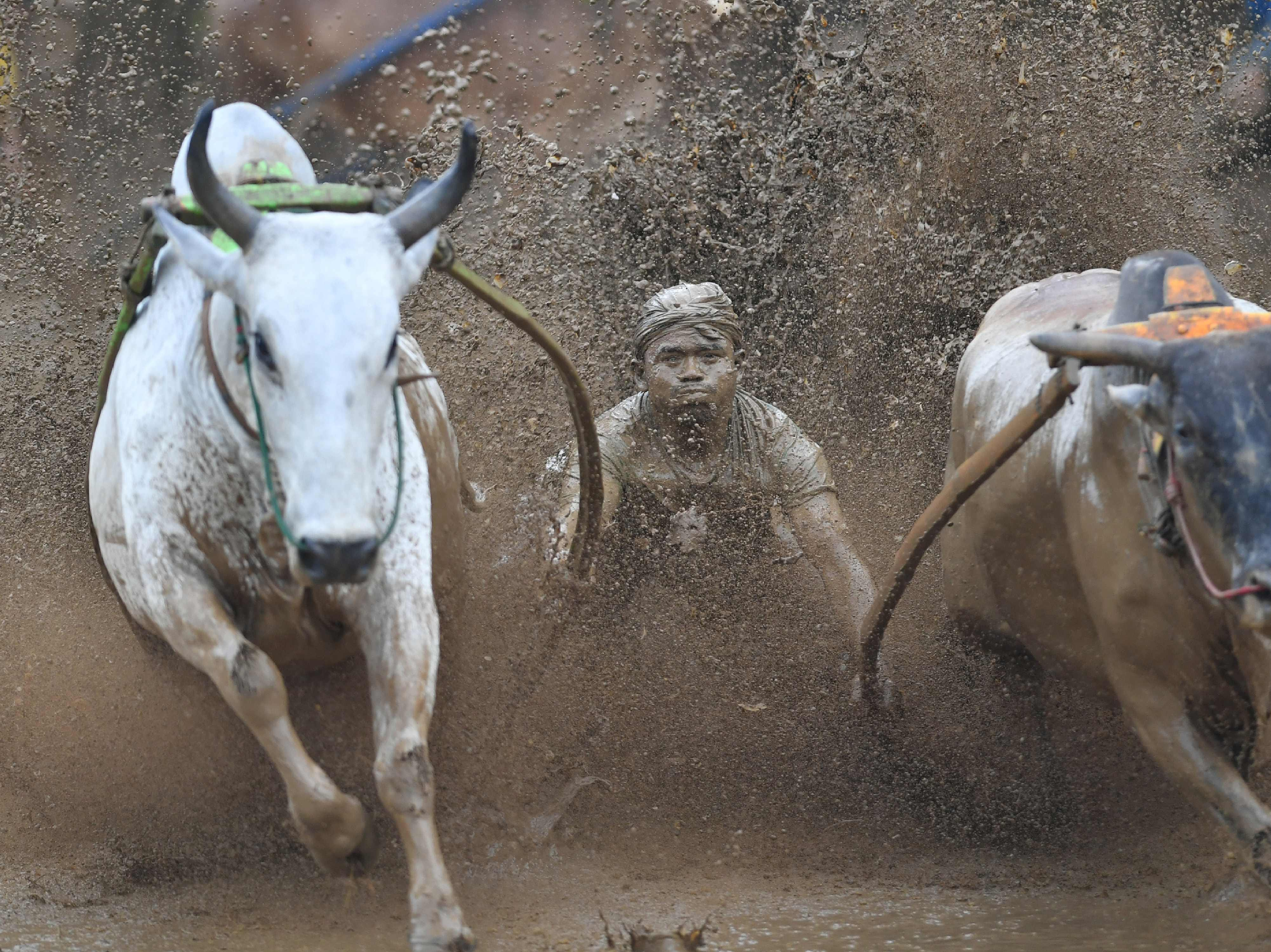 """An Indonesian jockey rides two bulls with a cart during a traditional sport bull race locally called """"pacu jawi"""" in Pariangan, West Sumatra on Dec. 1, 2018."""