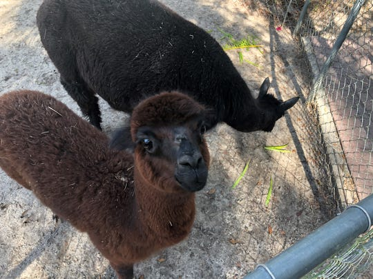 Two of The Shell Factory Nature Park's new alpacas, Irma (left) and Halo.