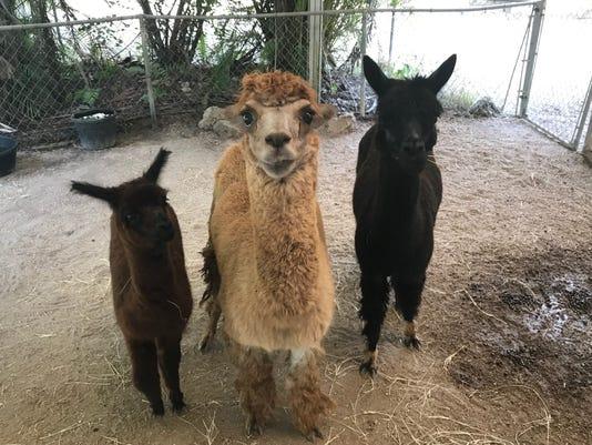Alpacas 2 New
