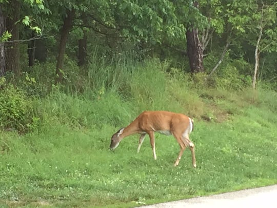 Another hunt is planned at Eagle Creek Park to curtail the overabundance of deer, according to wildlife experts. Evidence of their high populations can be seen in the visible rib cages of deer in the park as there is not enough nutritional foliage and food for the deer population.