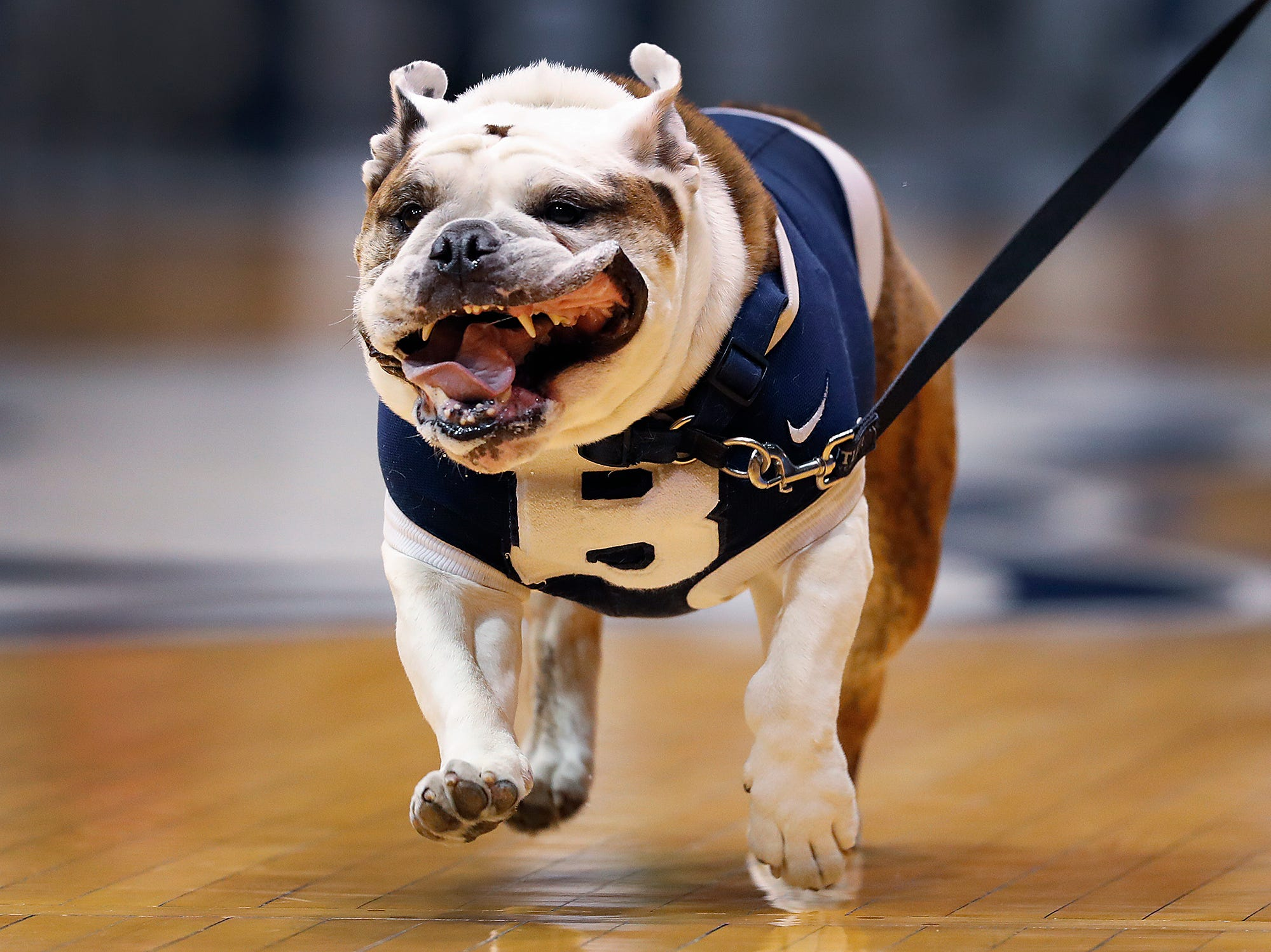 Butler Bulldogs mascot Trip runs the court before the start of their game against the Presbyterian Blue Hose at Hinkle Fieldhouse on Monday, Dec. 18, 2018.