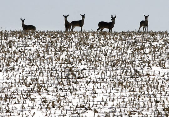 Deer and other animals of the Upper Midwest have evolved to often thrive in even bitterly cold weather.
