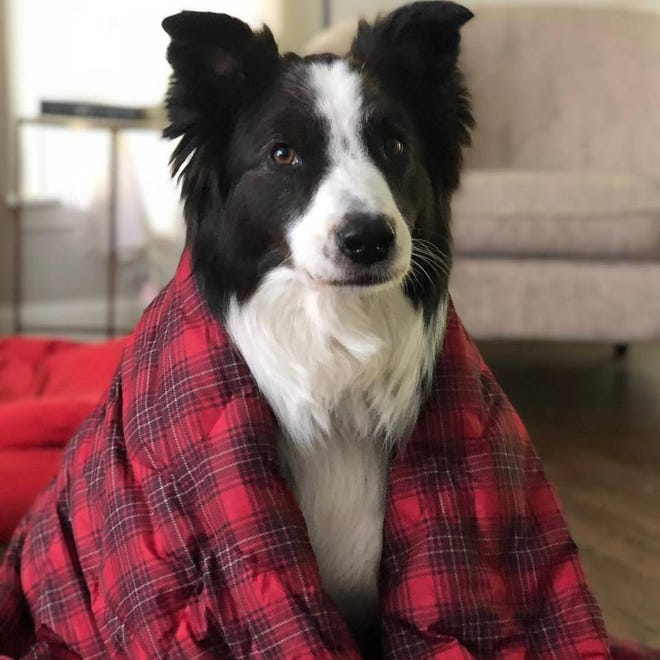 Oliver, a six-year-old Australian Shepherd is being celebrated. The dog scared off an intruder inside a Wauwatosa home on Dec. 15.
