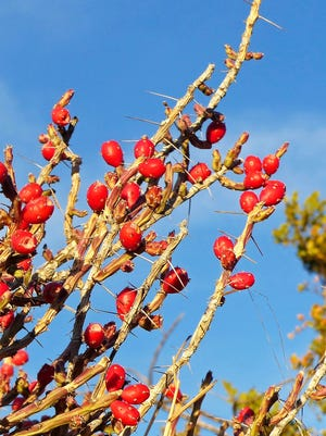 A Christmas cholla at Leasburg Dam State Park sports its signature red berries.