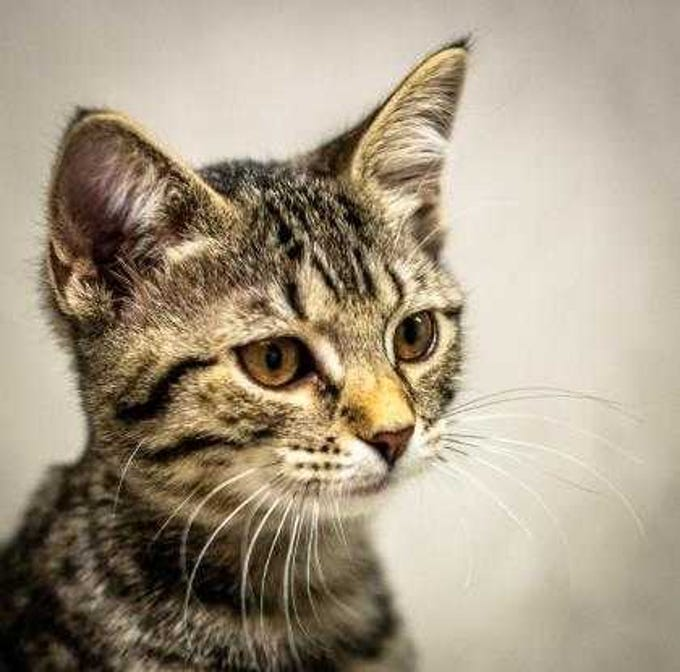 Sleigh Bells - Female domestic short hair, young. Intake date: 12-05-2018