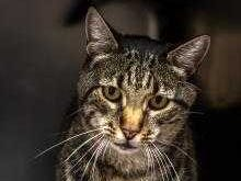 Homer - Male (neutered) domestic short hair, 8 years old. Intake date: 8-30-2018