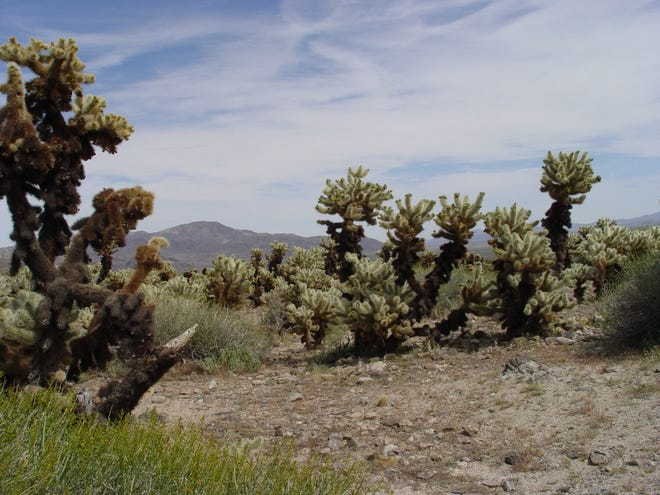 At Joshua Tree National Park, the area called Cholla Garden is acres of ferocious teddy bear cactus, Cylindropuntia bigelovii.