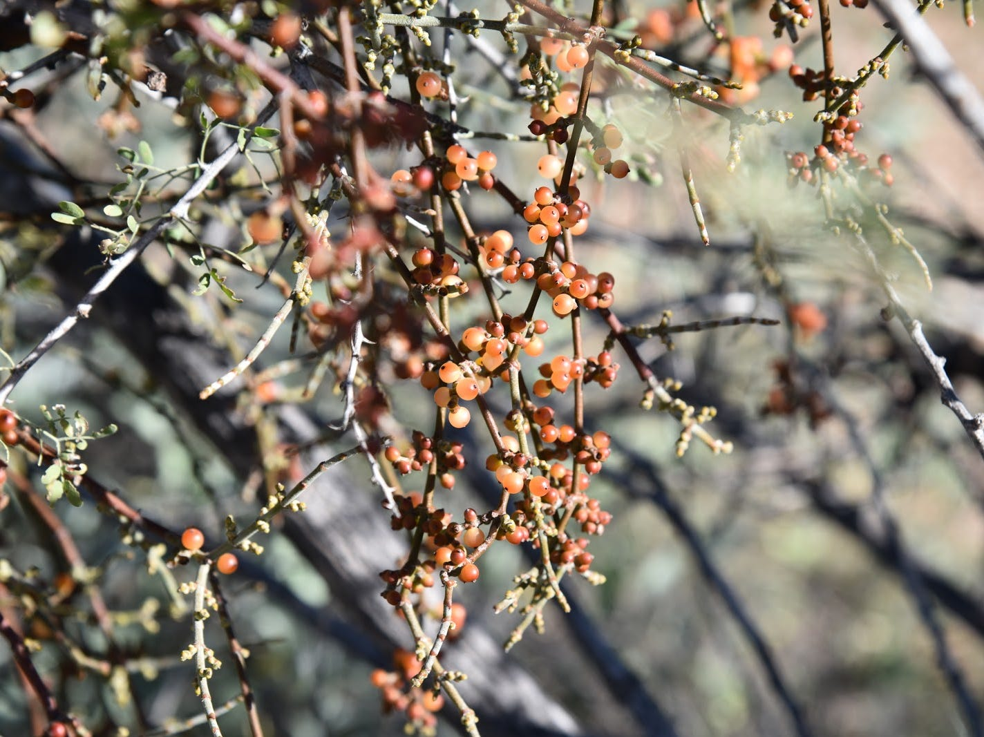 Invasive mistletoe attracts Phainopela birds.