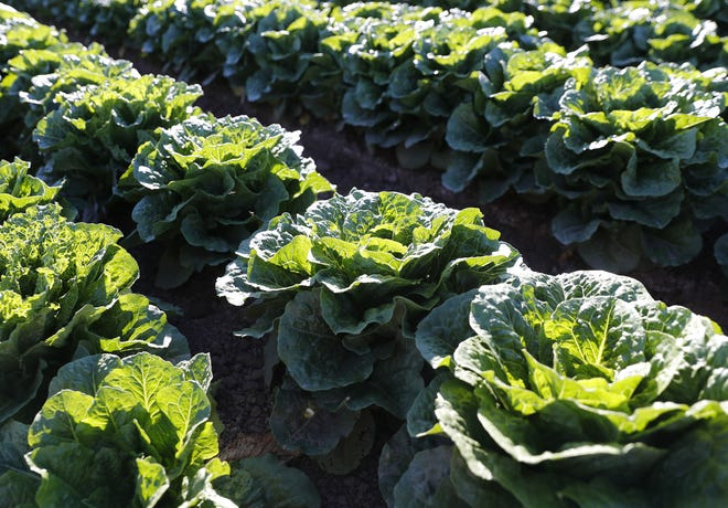 Romaine lettuce grows at Desert Premium Farms in Wellton, Ariz., Dec. 12, 2018. Recent E. coli outbreaks have placed more scrutiny on growers.