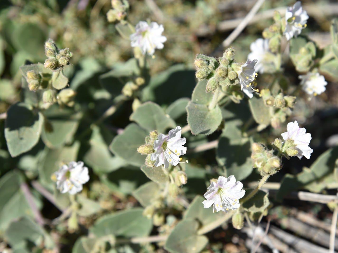 Desert wishbone bush.