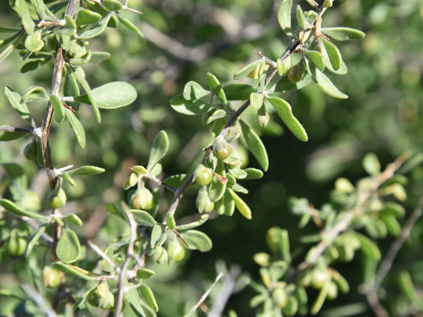 Wolfberry shrubs thrive in moist areas of the McDowell Sonoran Preserve