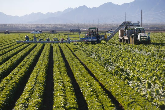 Workers pick romaine lettuce at Desert Premium Farms in Wellton, Arizona. Just before the Thanksgiving holiday, the CDC issued a warning for the public and grocers and food service businesses to refrain from eating and throw out romaine lettuce due to a multi-state E. coli outbreak.