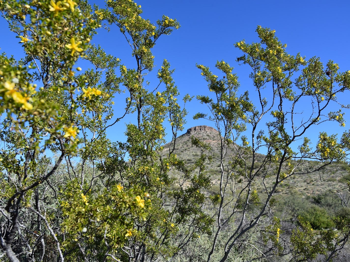 Browns Mountain framed by blooming creosote.