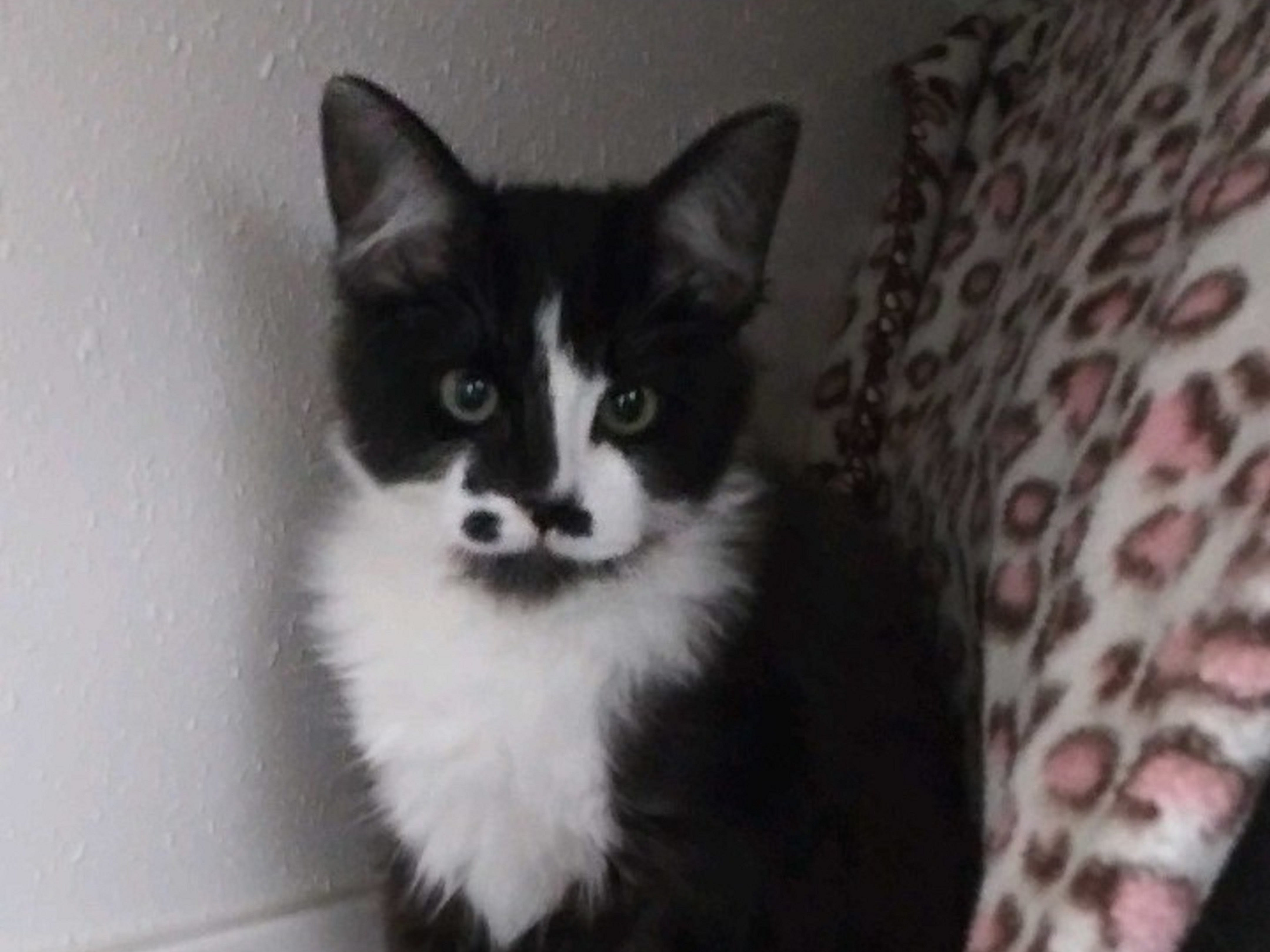 Mickey is a 4-month-old male kitten. He's sweet tempered. He and his brother Donald are up for adoption. Raining Cats N Dogs adoptions include spay/neuter services, vaccines and vetting as needed. Call 232-6299. Go to http://rainingcatsndogs.rescuegroups.org.