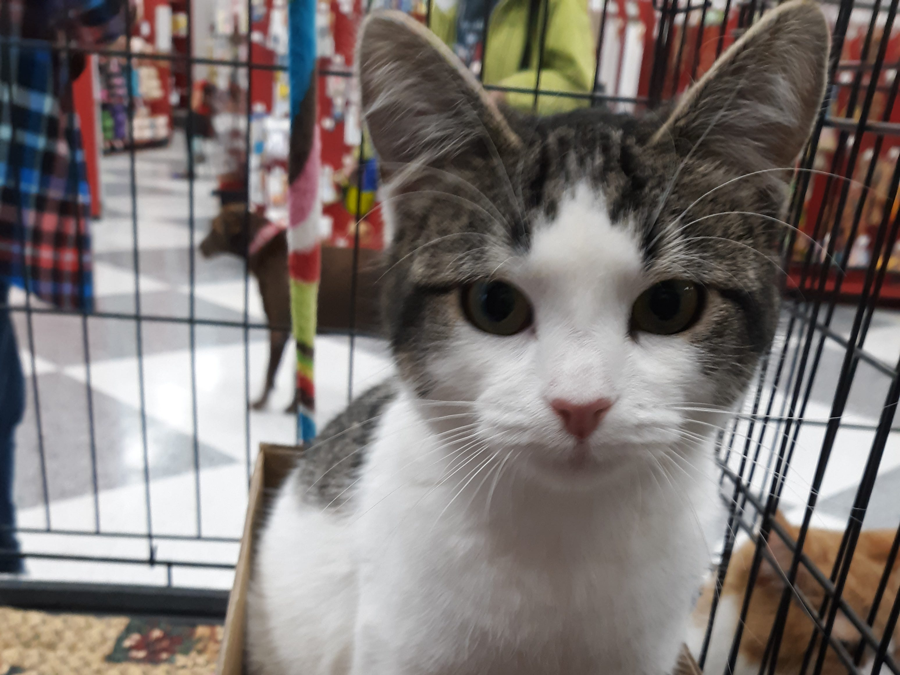 Dayna is a 6-month-old female kitten with tabby and white fur. She's very affectionate and playful. All animal adoptions include spaying or neutering and vaccinations. Apply with Another Chance Animal Welfare League at www.acawl.org. Call 356-0698.
