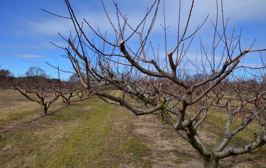Pruned Peach Trees Agrilife