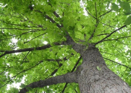 Swamp chestnut oak (Quercus michauxii) is a relatively wind resistant tree species.