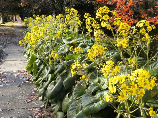 Leopard plant begins flower in October.